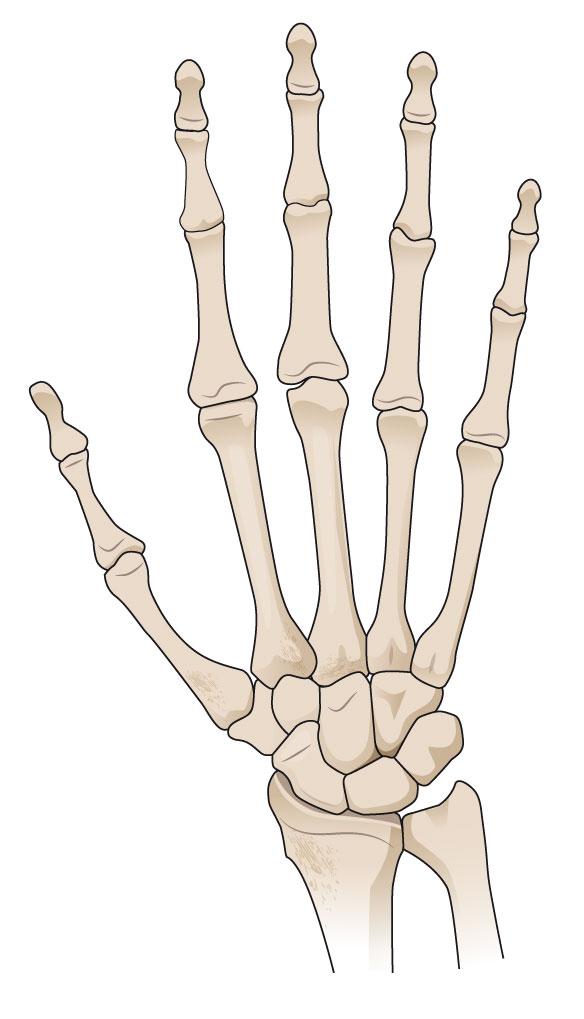 Hånd skelet