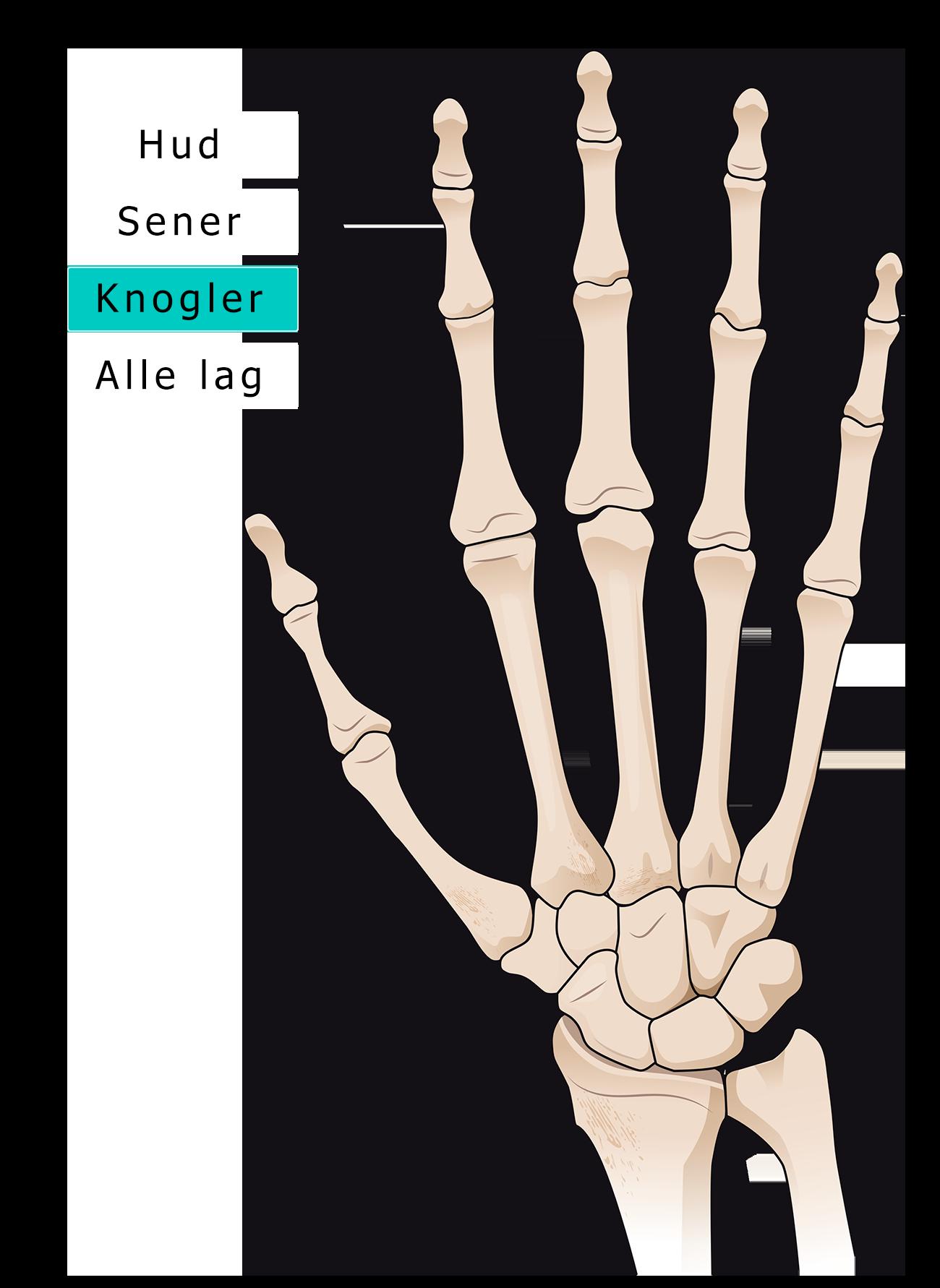 Hånd knogler